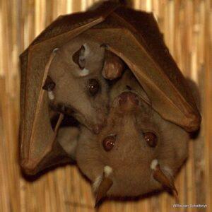 Madre murciélago con su cría