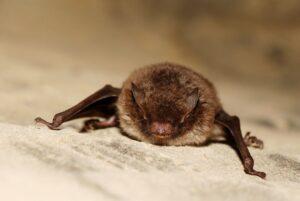 El murciélago que más duerme del mundo