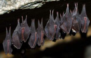 Murciélagos durmiendo boca abajo