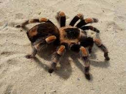 Araña tarántula